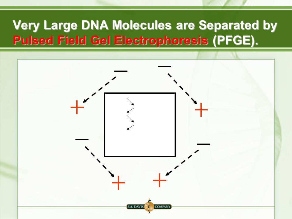 Resolution And Detection Of Nucleic Acids Ppt Video Online