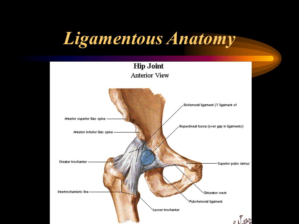 The Hip Joint Ppt Download