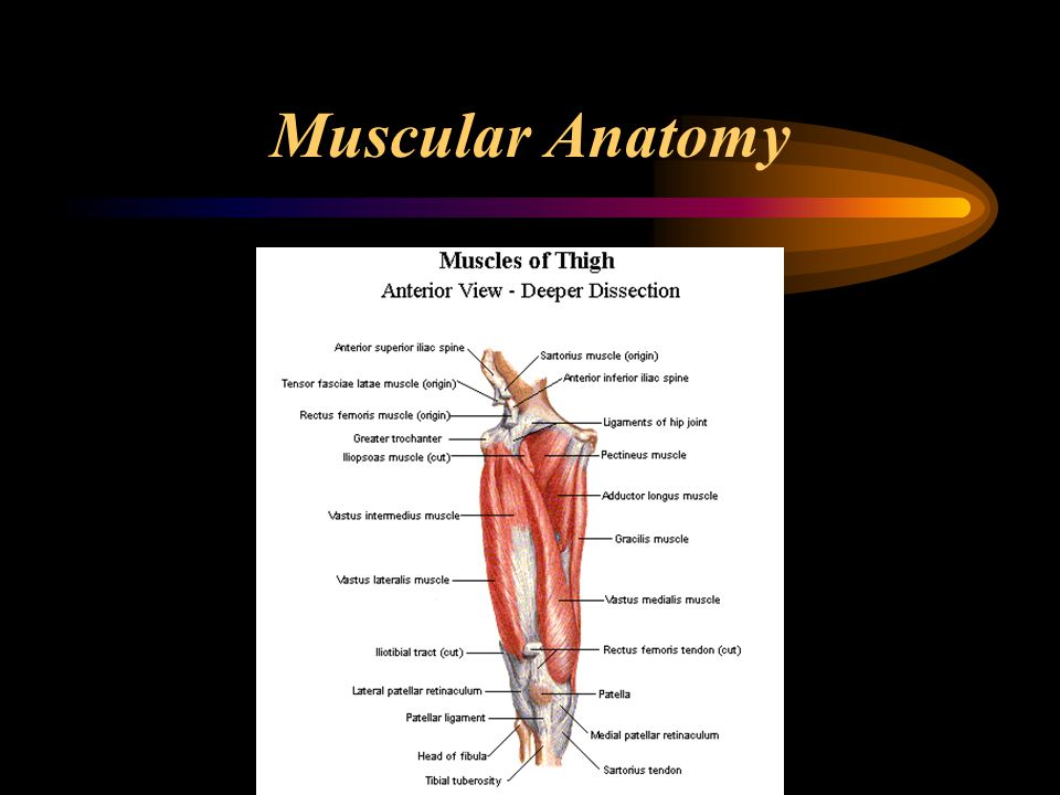The Hip Joint. - ppt download