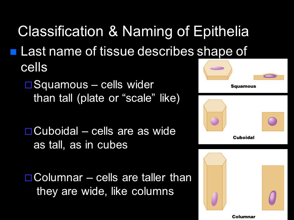 Epithelial tissue | boundless anatomy and physiology.