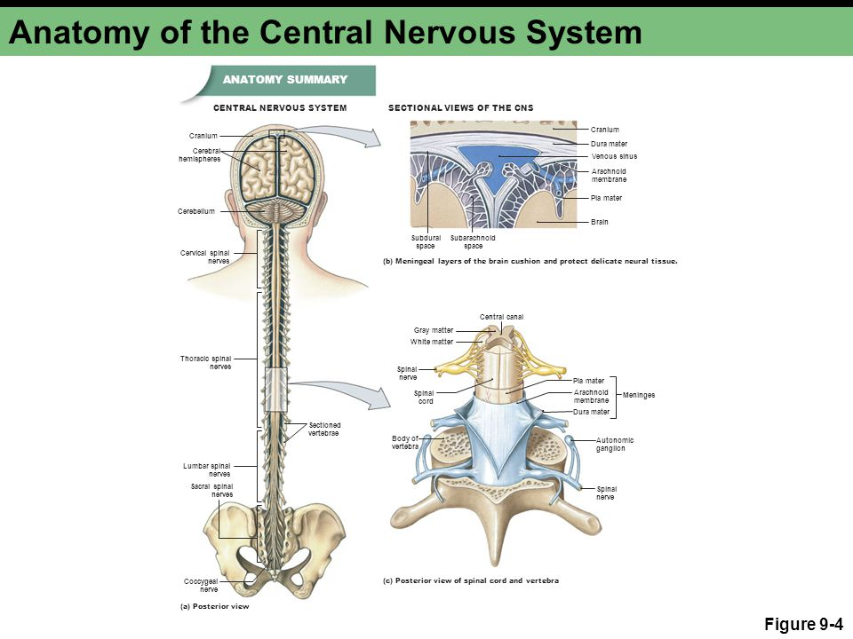 The Central Nervous System Ppt Video Online Download