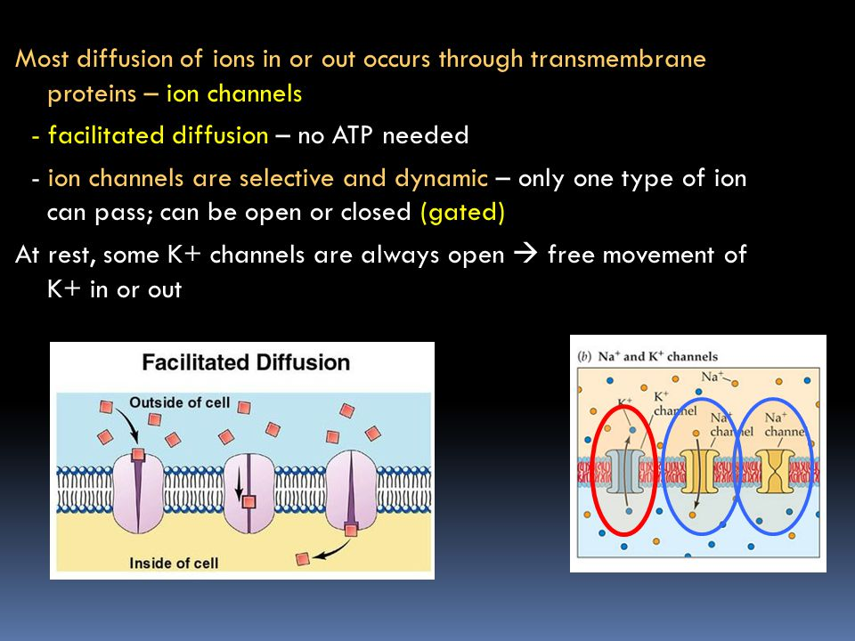 Most diffusion of ions in or out occurs through transmembrane proteins – ion channels - facilitated diffusion – no ATP needed - ion channels are selective and dynamic – only one type of ion can pass; can be open or closed (gated) At rest, some K+ channels are always open  free movement of K+ in or out