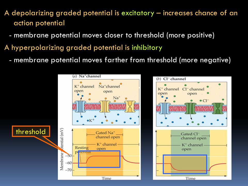A depolarizing graded potential is excitatory – increases chance of an action potential - membrane potential moves closer to threshold (more positive) A hyperpolarizing graded potential is inhibitory - membrane potential moves farther from threshold (more negative)