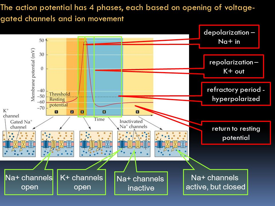 The action potential has 4 phases, each based on opening of voltage-gated channels and ion movement