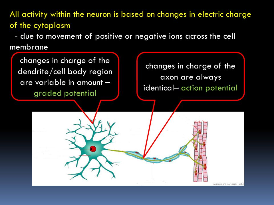 changes in charge of the axon are always identical– action potential