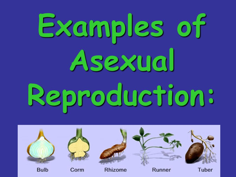 List two types of asexual reproduction in the sponge