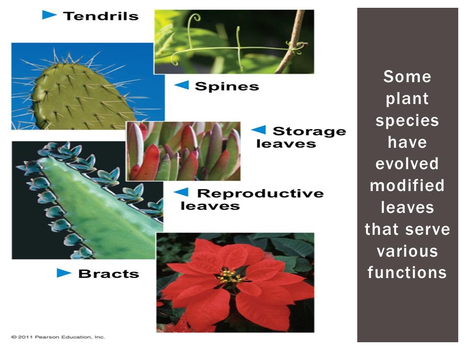 Some plant species have evolved modified leaves that serve various functions