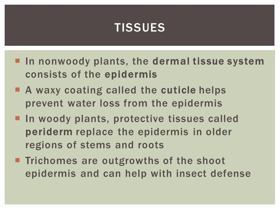 Tissues In nonwoody plants, the dermal tissue system consists of the epidermis.