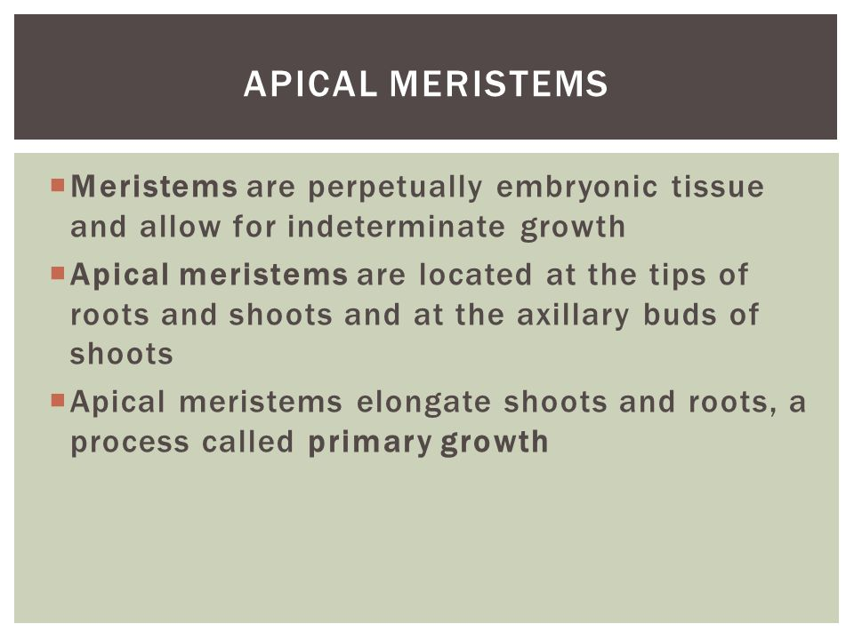 Apical Meristems Meristems are perpetually embryonic tissue and allow for indeterminate growth.