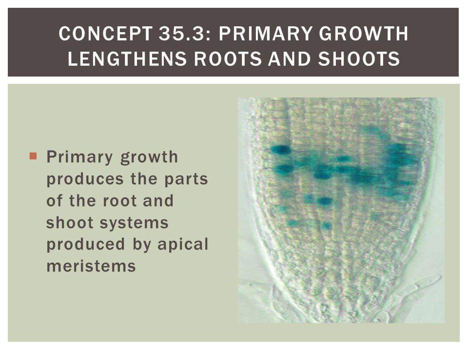Concept 35.3: Primary growth lengthens roots and shoots
