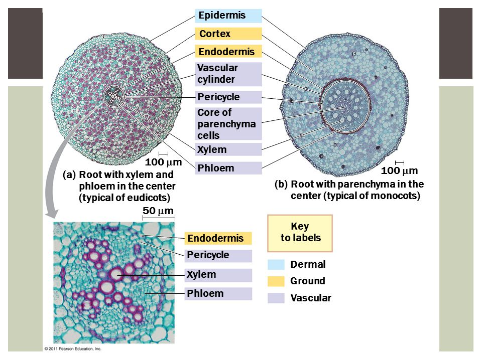 Core of parenchyma cells