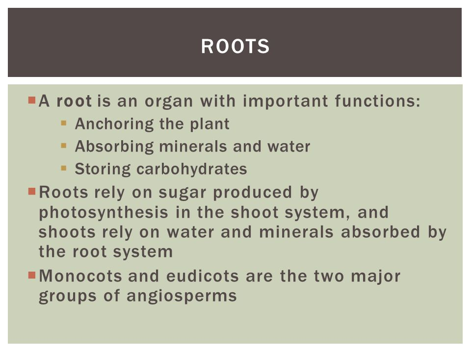 Roots A root is an organ with important functions: