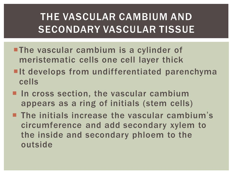 The Vascular Cambium and Secondary Vascular Tissue