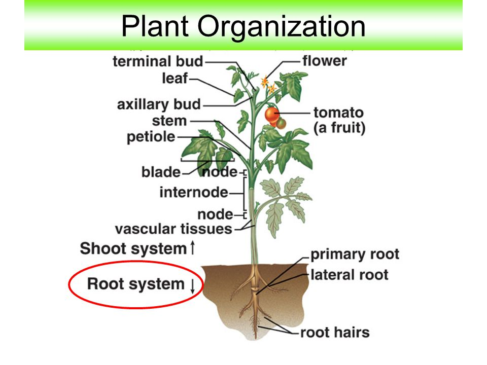 Chapter 9: Plant Organization - ppt video online download