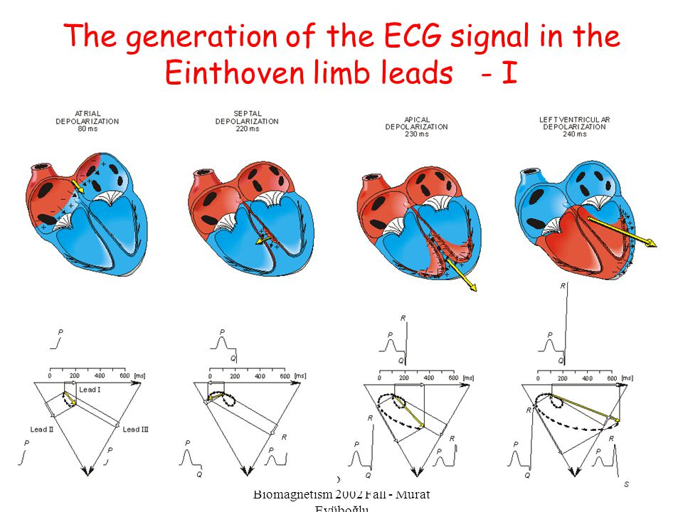 The generation of the ECG signal in the Einthoven limb leads - I