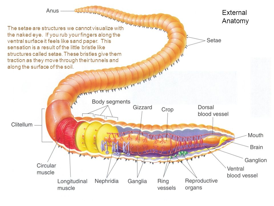 Earthworm Systems and Homeostasis - ppt video online download