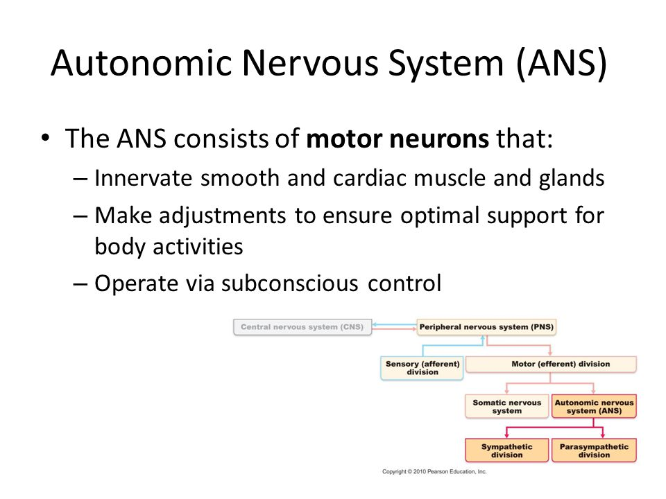 the efferent division of the peripheral nervous system innervates