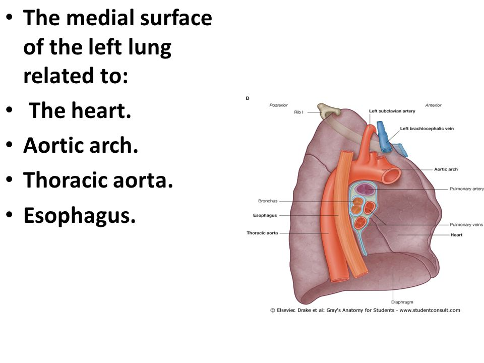 The Lung. The Lung Objectives Explain pleura. Define mediastinum ...