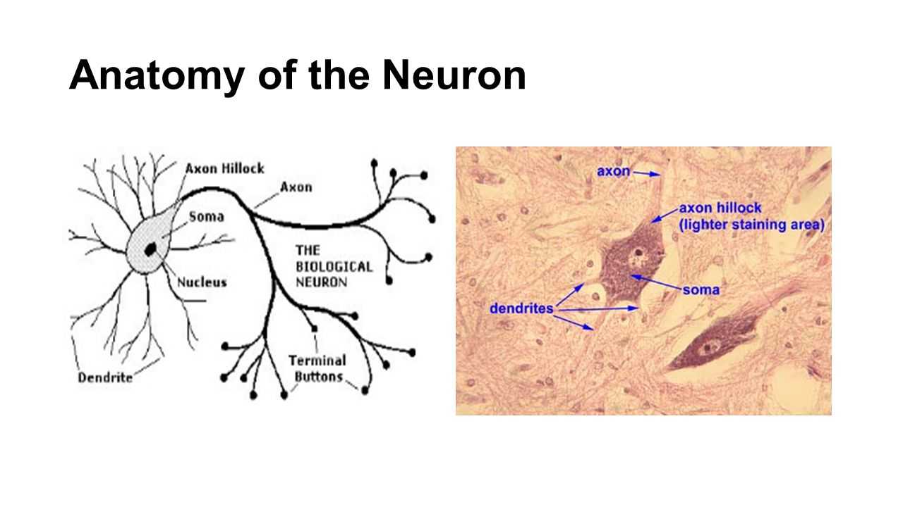 Anatomy Physiology Of The Neuron Ppt Video Online Download