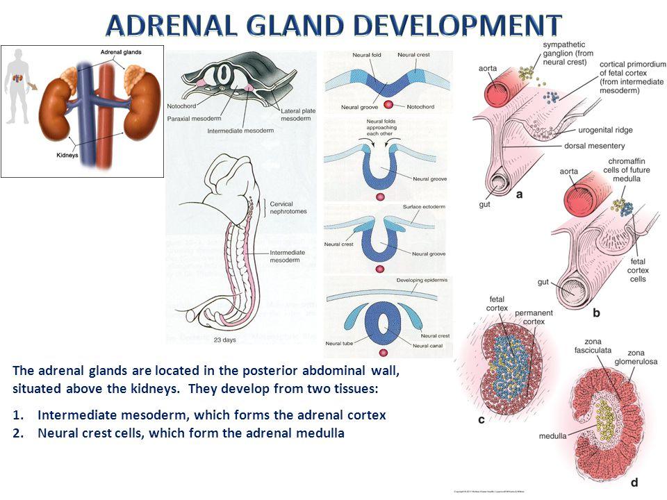 Adrenal Gland Digital Laboratory Ppt Video Online Download