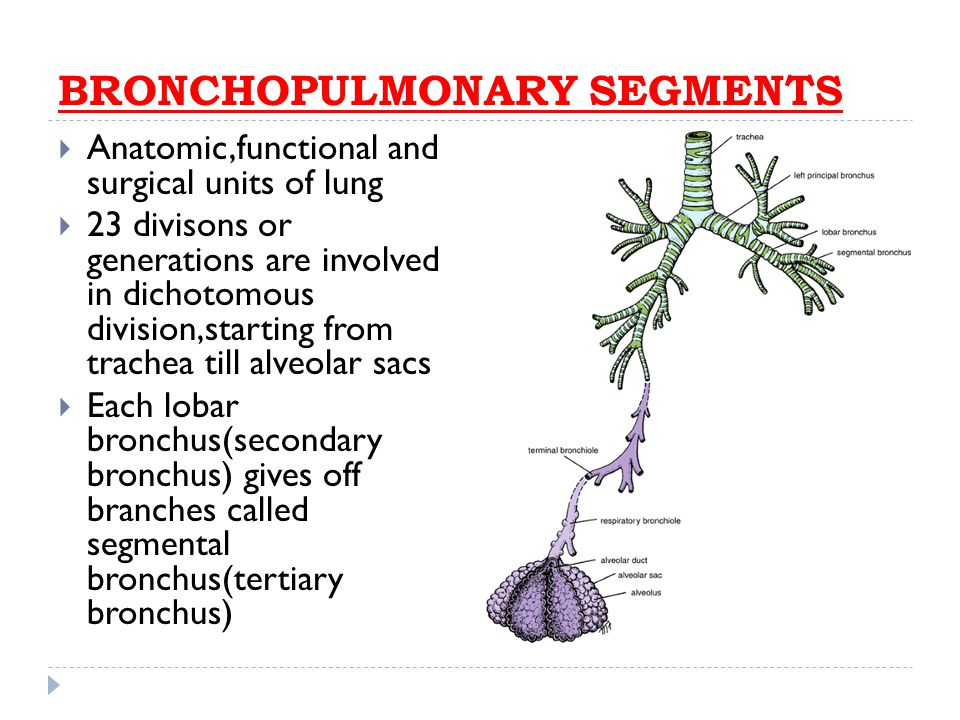 Nice Tracheobronchial Tree Anatomy Ideas - Anatomy And Physiology ...
