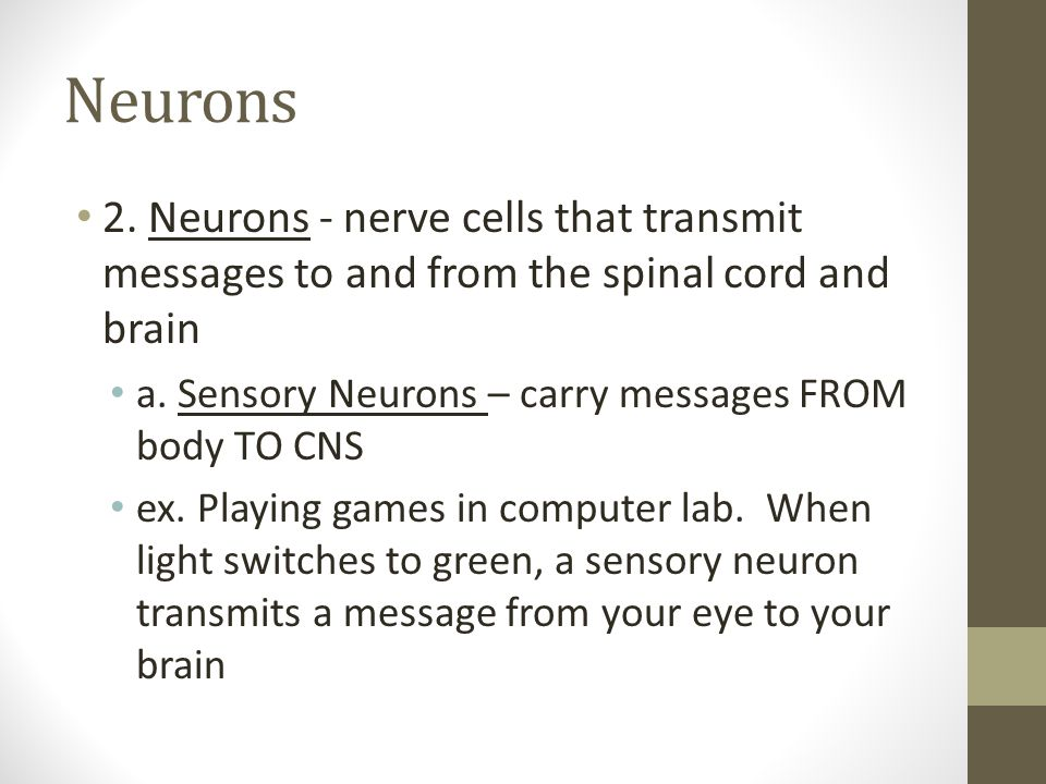 Neurons 2. Neurons - nerve cells that transmit messages to and from the spinal cord and brain. a. Sensory Neurons – carry messages FROM body TO CNS.