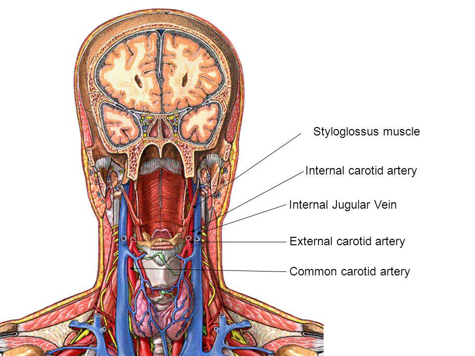 Hermosa Anatomy Of Internal Jugular Vein Imagen - Imágenes de ...