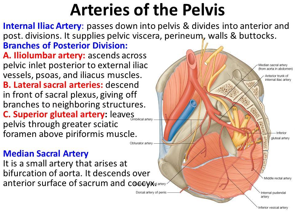Pelvic Nerves & Vessels - ppt video online download