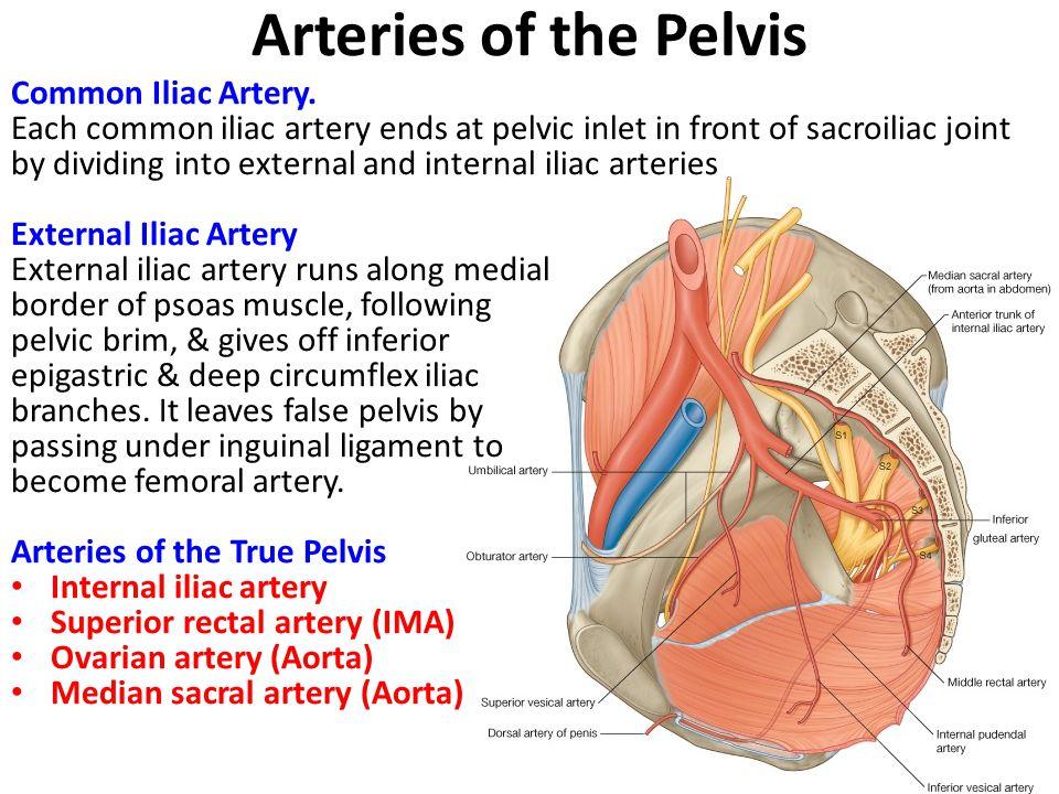 Pelvic Nerves Vessels Ppt Video Online Download