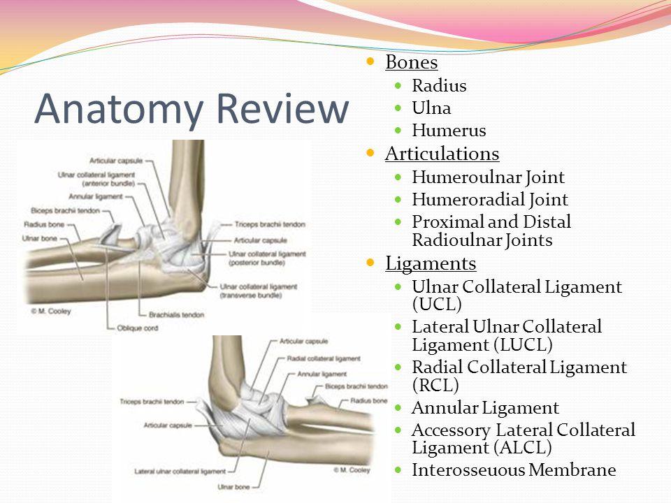 Famous Radius And Ulna Anatomy Photo - Anatomy And Physiology ...