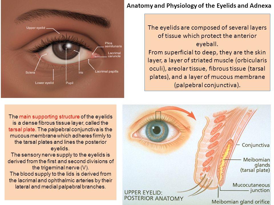 Amazing Eyelid Anatomy And Physiology Inspiration - Anatomy And ...