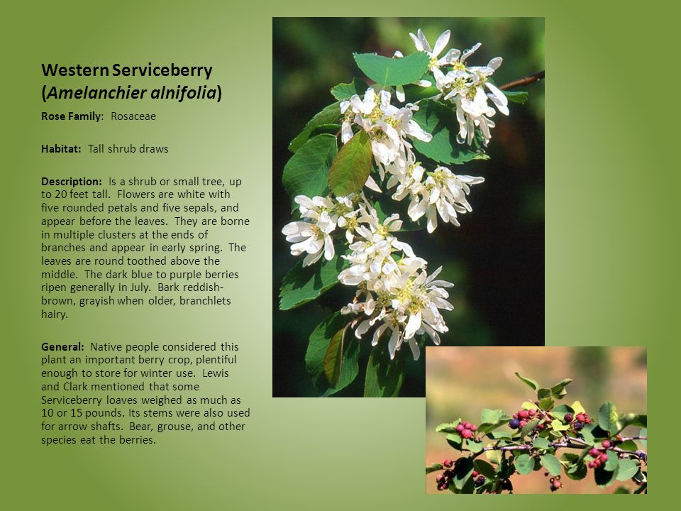 Celebrating wildflowers ppt download 4 western serviceberry mightylinksfo