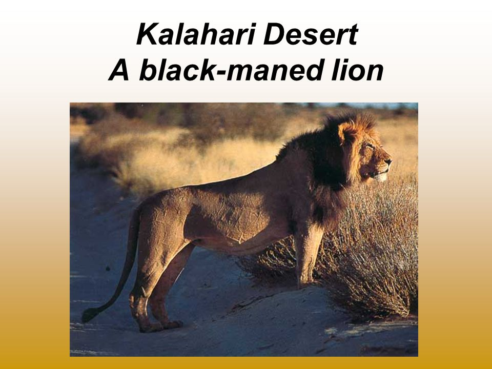 Kalahari Desert A black-maned lion