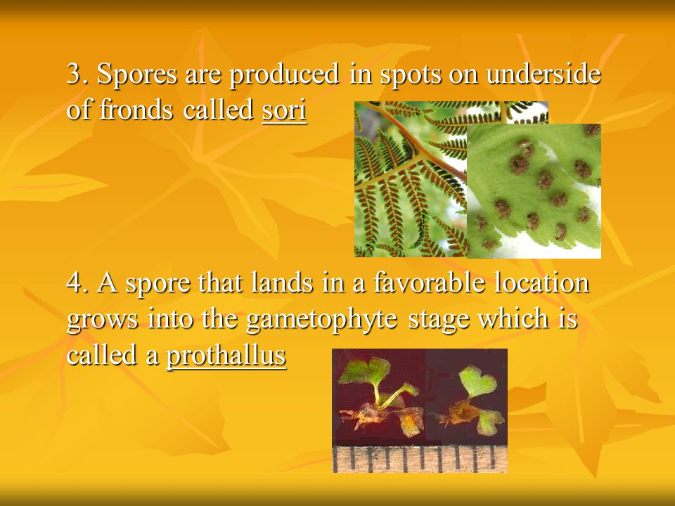 3. Spores are produced in spots on underside of fronds called sori