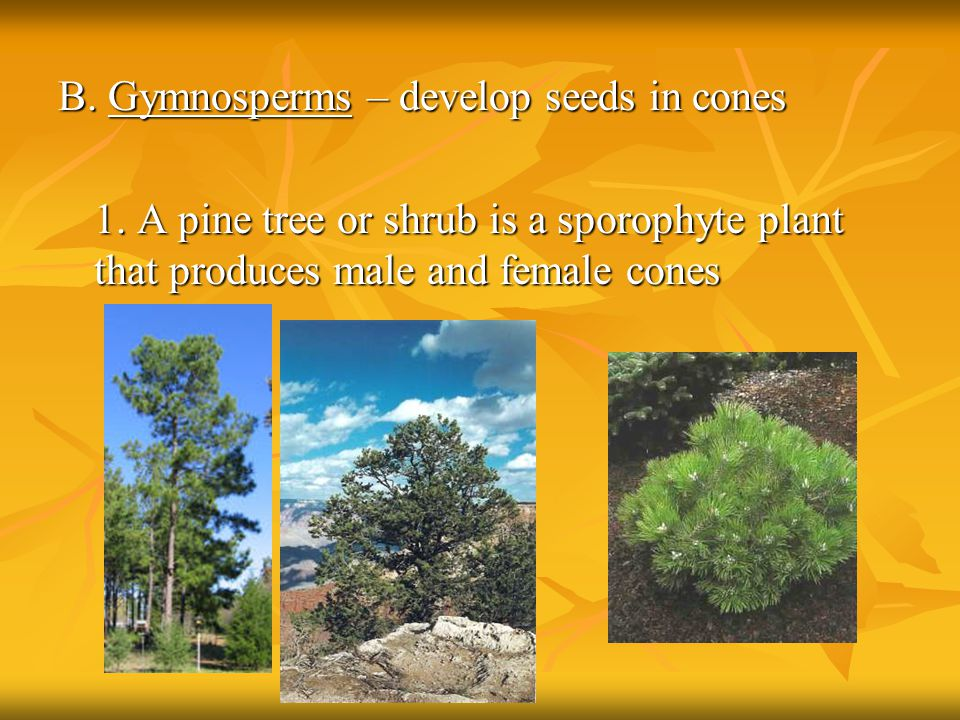 B. Gymnosperms – develop seeds in cones 1