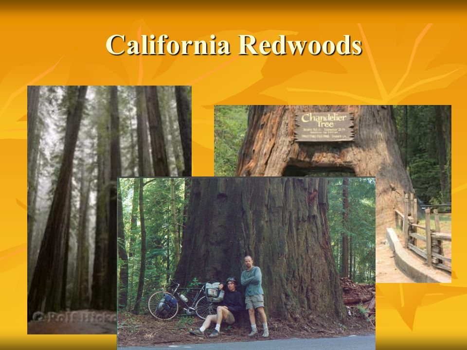 California Redwoods Tallest on record over 3000 ft