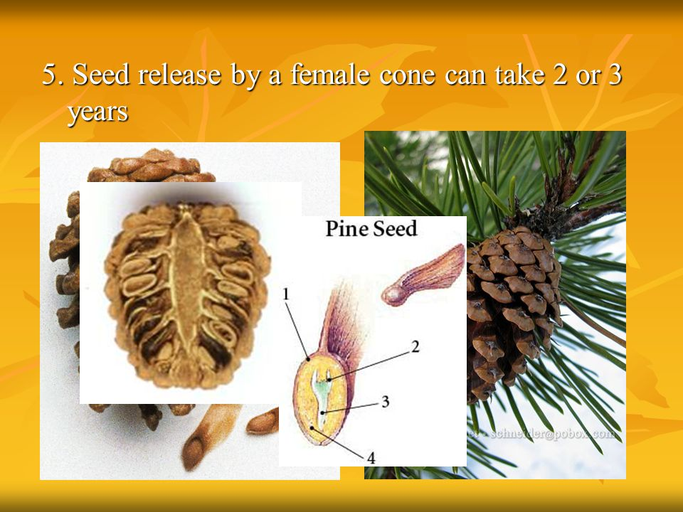 5. Seed release by a female cone can take 2 or 3 years