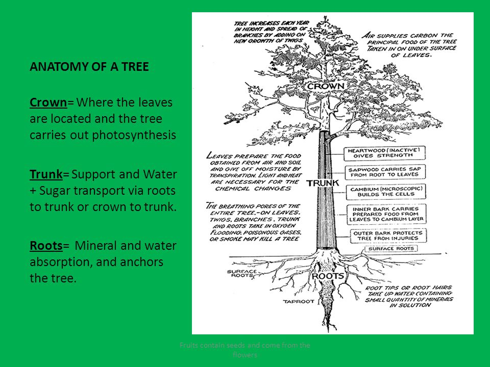 Mr Brinkmans Powerpoint For The Trees And Plants Of Kentucky Ppt