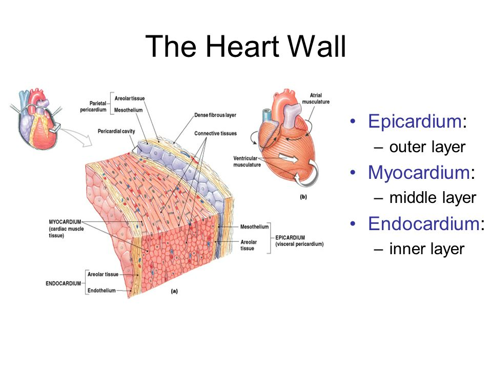 Chapter 18 the heart ppt download the heart wall epicardium myocardium endocardium outer layer ccuart Image collections
