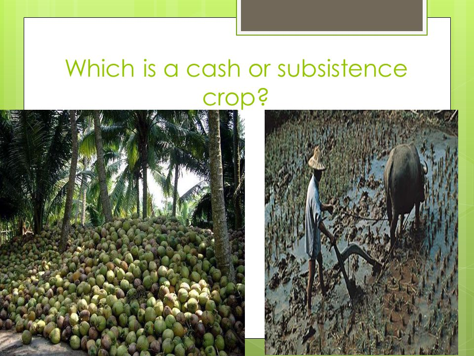 Which is a cash or subsistence crop