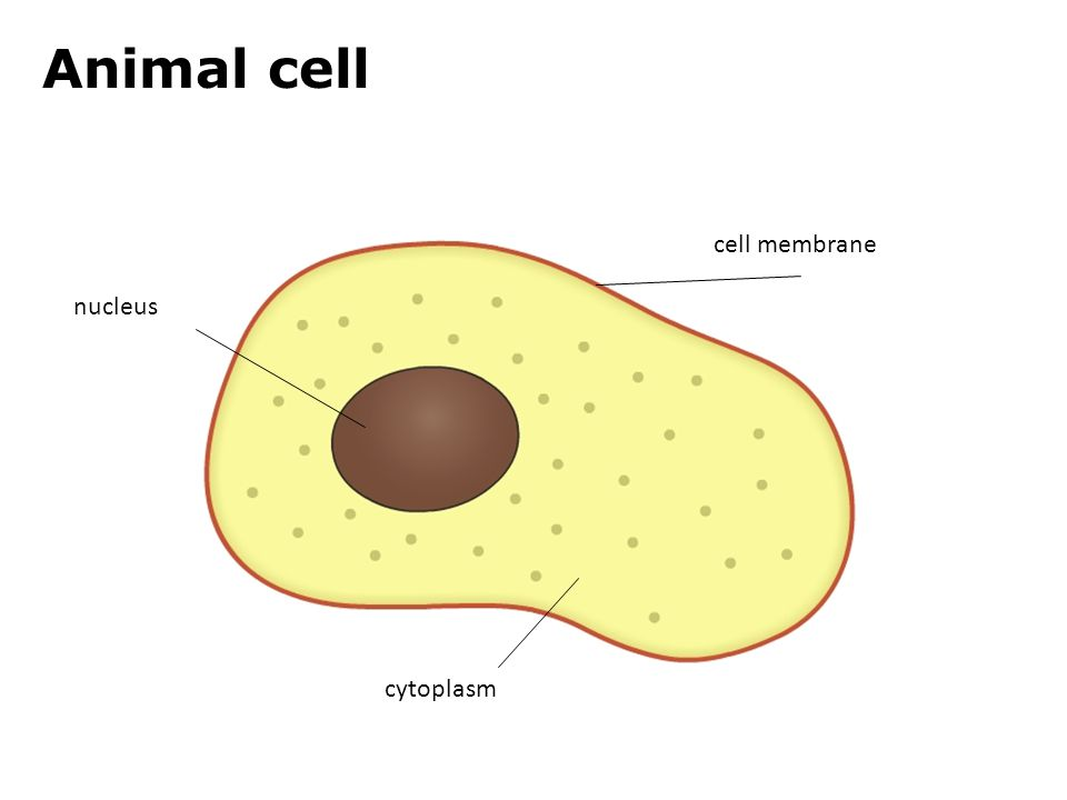Cytoplasm in animal cell and plant cell - photo#40