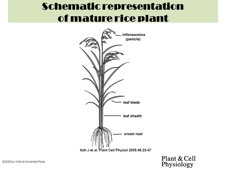 rice family poaceae botanical name oryza sativa ppt video rh slideplayer com Parts of a Wheat Plant Label Parts of Wheat Plant System