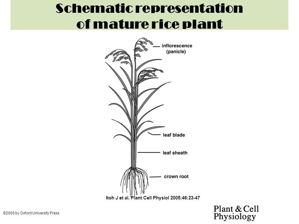 Rice Family Poaceae Botanical Name Oryza Sativa Ppt Video