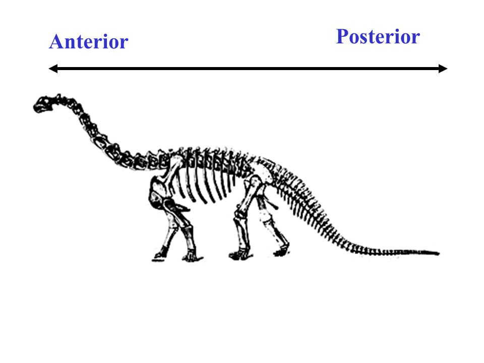 Dinosaur Anatomy & Classification - ppt video online download