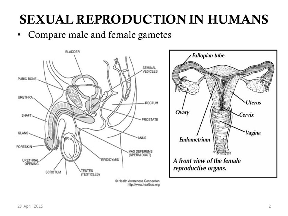 Sexual reproduction in humans video download