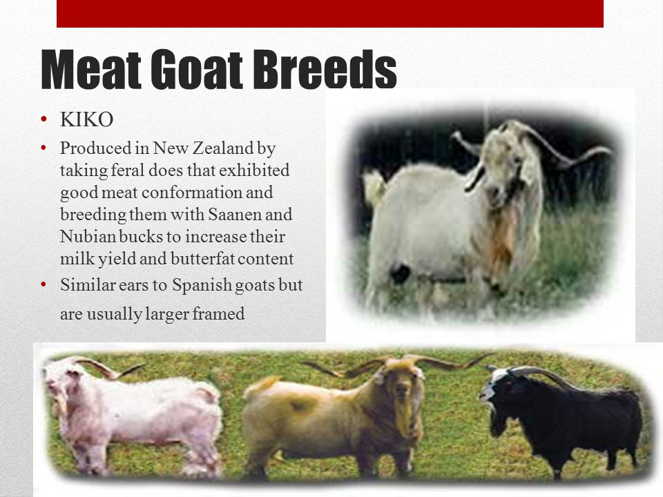 There are over three hundred breeds of goats around the world - ppt