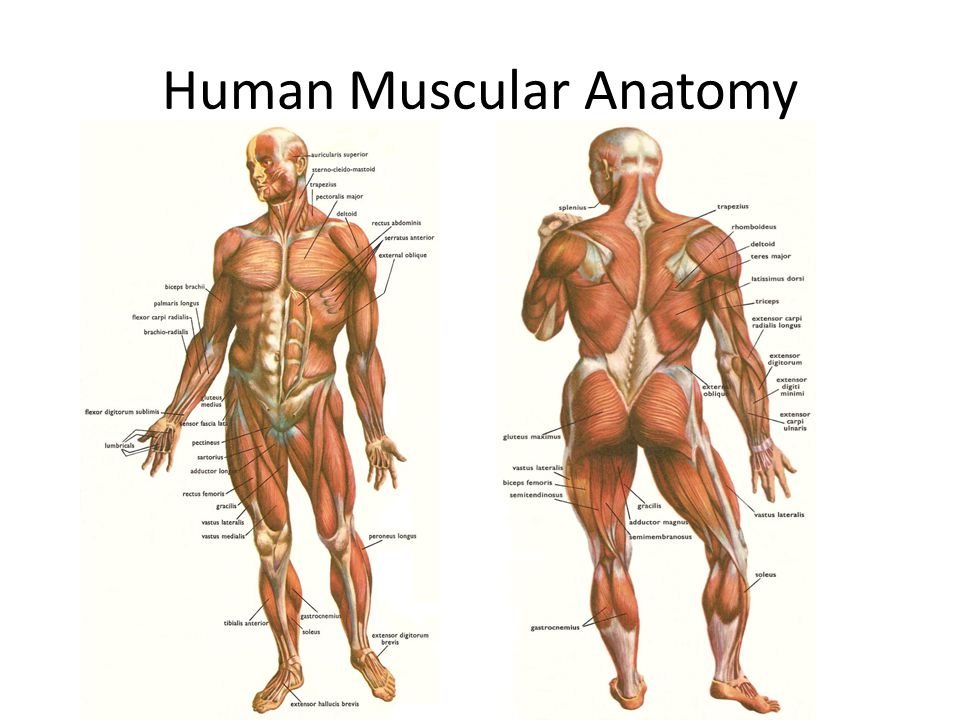 Muscular System Ppt Video Online Download