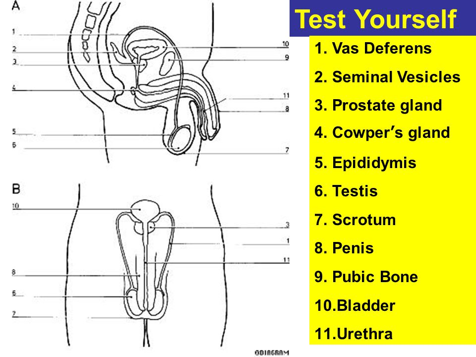 Male Reproductive System Diagram Test - DIY Enthusiasts Wiring ...