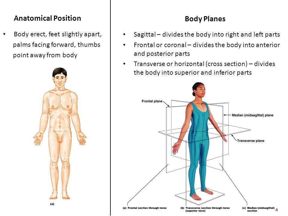 Anatomical Position Body Planes Body erect, feet slightly apart,