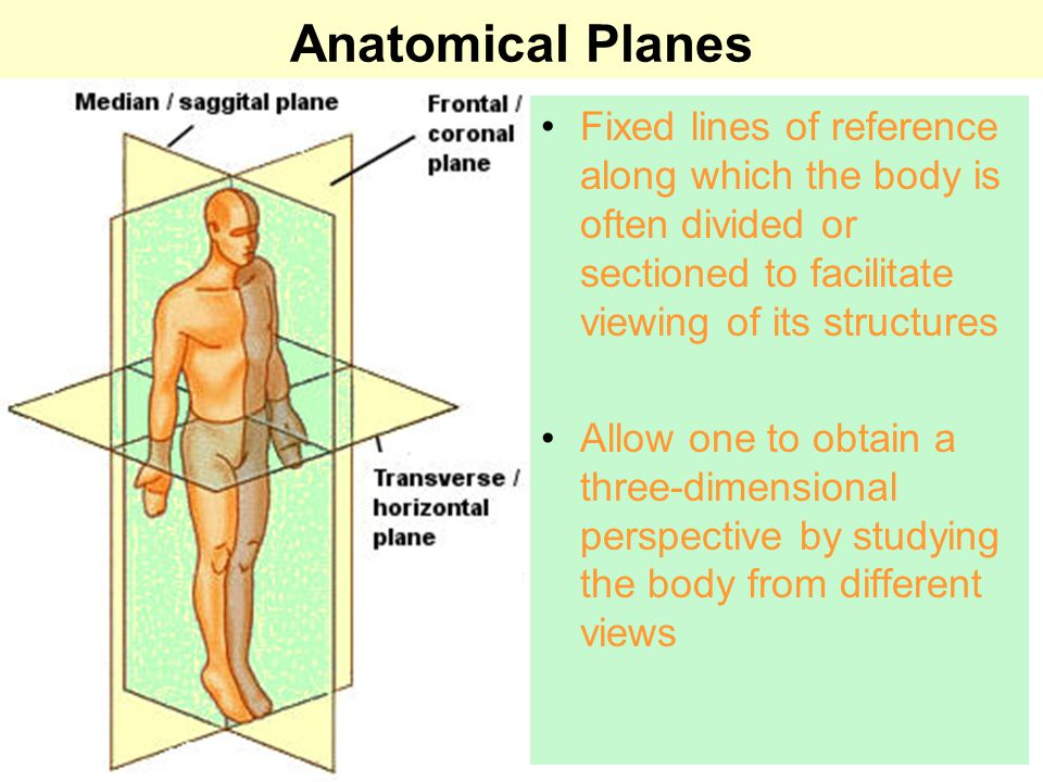Medical Terminology Anatomical Position, Directional Terms and ...